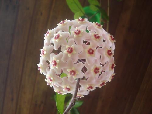 2687423052 549a8ce6f8 Hoya Carnosa: Flor de Nácar, de cera, Cerilla o Flor de Porcelana