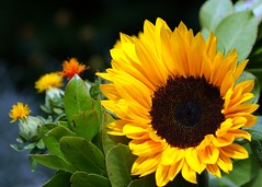 Sunflower (Cajaflez) Tags: sun flower yellow sunflower fabulous bej mywinners abigfave platinumphoto anawesomeshot excellentsflowers natureselegantshots wonderfulworldofflowers mimamorflowers awesomeblossoms kunstplatzlinternational 100commentgroup