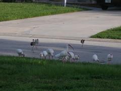 P8030003 (gruntersdad) Tags: birds ibis mylawn
