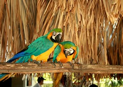 Happy couple (jmven) Tags: bird canon island rebel couple venezuela parrot colores margarita isla guacamaya mosquera xti
