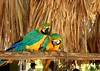 Happy couple (jmven) Tags: bird canon island rebel couple venezuela parrot colores margarita isla guacamaya mosquera xti