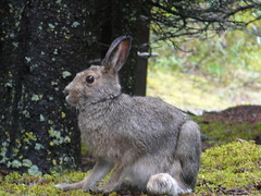 Conejo de patas largas para la nieve en invierno