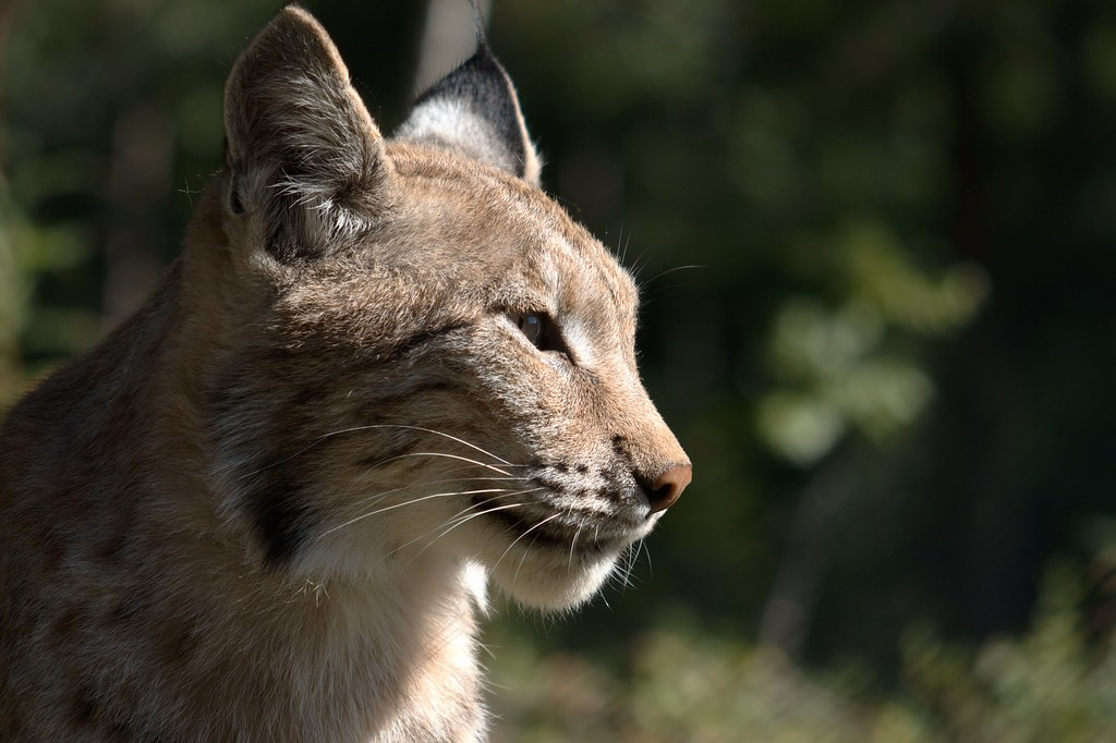 Lynx lynx.