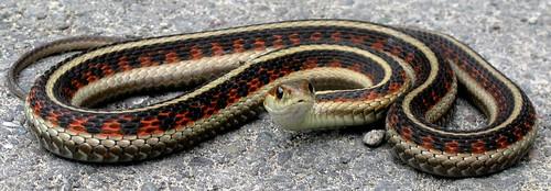 snakeonhammond