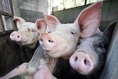 Orwell's muses... As musas de Orwell... (Ernestino Maravalhas (NoVDO)) Tags: portrait portugal canon pig literature georgeorwell cochon cerdo porco boticas carvalhelhos ilustrarportugal theanimalfarm otriunfodosporcos