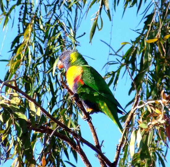 wicked rainbow lorikeet