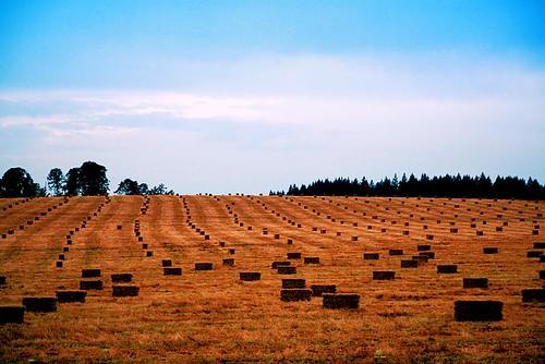 Hay bales in a farm field in Stayton Oregon