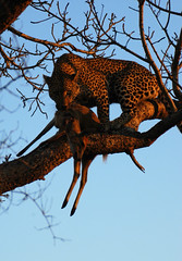 Breakfast (robep) Tags: tree southafrica kill safari eat leopard gamereserve duiker djuma