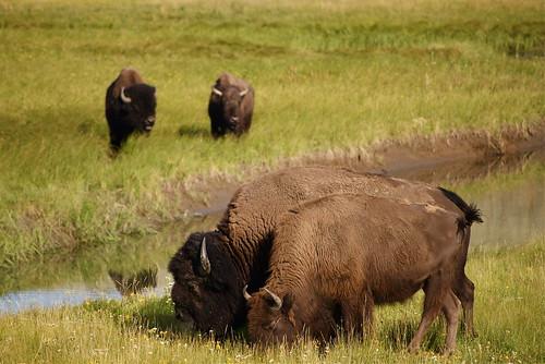bison gossip