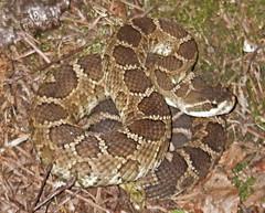 Bad Rattlesnake