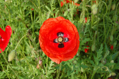 (Lauren Amanda Smith) Tags: suffolk poppyfield badwellash