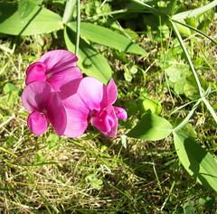 untitled (Tamara R.) Tags: flower nature sweetpea