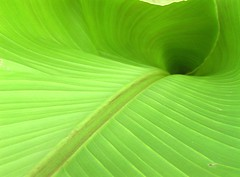 Banana leaf - Follow the curve ! (Jean-christophe 94) Tags: jc94 jeanchristophe94
