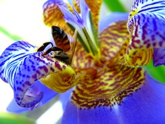 falso-lirio (Neomarica caerulea) CERET sao paulo Brazil (mauroguanandi) Tags: blue brazil sensational iridaceae colorphotoaward awesomepictures mimamorflores