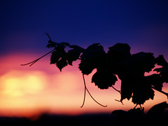 Mawby Sunset (farlane) Tags: sunset vineyard wine winery grape leelanau lmawby