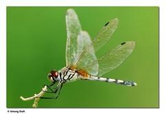 Dragonfly - Trithermis Pallidinervis (Umang Dutt) Tags: india macro cute green closeup wow interestingness interesting flickr image dragonfly awesome flight picture explore indians nikkor gujarat ahmedabad dutt umang explored longleggedmarshglider 70300vr umangdutt vosplusbellesphotos trithermispallidinervis