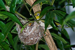 A Silvereye (Zosterops lateralis) Feeding Chick/s in the Nest (Craig Jewell Photography) Tags: tree bird leaves garden backyard branch nest feeding brisbane telephoto tiny chicks silvereye nesting hatched whiteeye perching lateralis zosterops zosteropslateralis craigjewellphotography