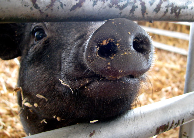 100 Things to see at the fair #25: Petting Zoo pig