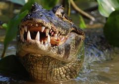 Food Chain (Mondmann) Tags: brazil fish nature brasil reptile wildlife natureza alligator matogrosso pantanal piranha foodchain jacare nikond60 animalkingdomelite