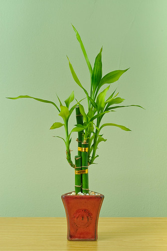 Bamboo potted plant