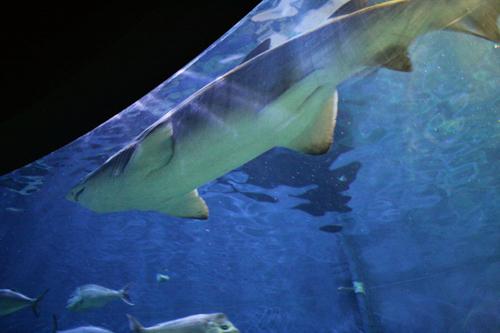 aquarium :: shark