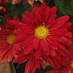 Red Flower thumbnail