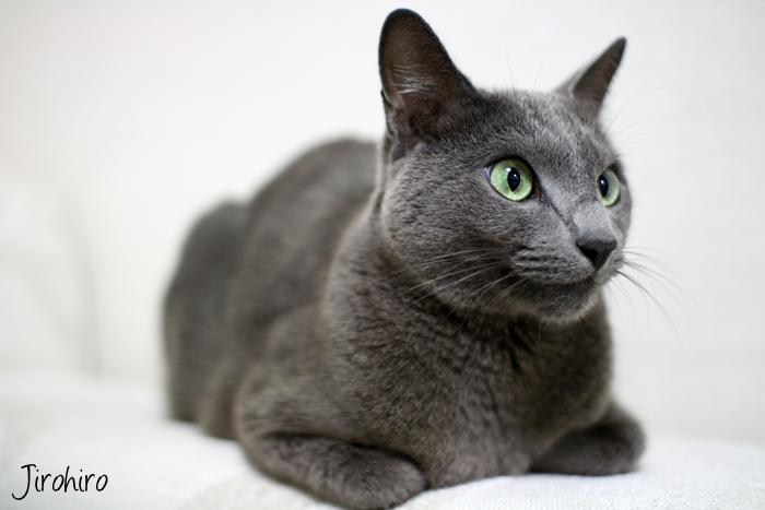 кот порода русский голубой