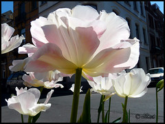 Please open to see more 0805 tB 81101 (thethi (don't like the new layout)) Tags: brussels nature fleur soleil belgium belgique bruxelles ombre mai rue brussel ville tulipe clairobscur uccle ukkel setflowers bestof2008 setmai ruby10 ruby5 faves16