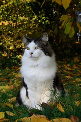 soft fluffiness (baloochester(more than slow)) Tags: kissablekat bestofcats baloochester catnipaddicts