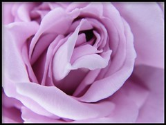 Purple rose (yjeva) Tags: rose purple mauve purplerose colorphotoaward
