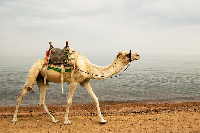 Dahab Camel Desert