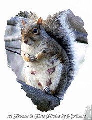 FBI: P2190163 I LOVE Ms WEBSTER (Frozen in Time photos by Marianne AWAY OFF/ON) Tags: animalplanet fbi unbearablycute backyardcritters youlookinatme friends~ animalcloseups squirrelysplace heartsallhearts thehappysquirrel flickrnature squirrelsgonewild nationalgeographicwannabes mywinnerstrophy funnysquirrels nationalgeographicareyougoodenough flickrforeveryone photosandcalendar squirrelspool 4