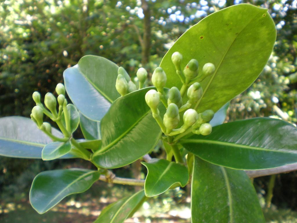 Pua kenikeni flower buds (Fagraea berteriana/berteroana), Lyon Arboretum