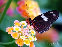 All love is sweet ... given or returned. (suesue2) Tags: vacation flower butterfly michigan lantana mackinacisland butterflyhouse suesue2 amazingmich suefraserphotography