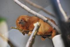 Golden Lion Tamarin (thoth1618) Tags: park nyc newyorkcity brooklyn zoo monkey prospectpark prospectparkzoo brooklynny goldenliontamarin newworldmonkey leontopithecusrosalia nycpark brooklynusa goldenmarmoset