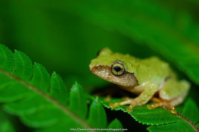 艾氏樹蛙 s