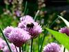 Reachin (dannygooyer) Tags: flower nature fauna flora bumblebee hommel planten honing stuifmeel insest