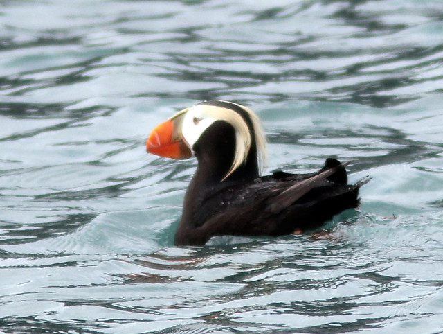 Tufted Puffin 20110622