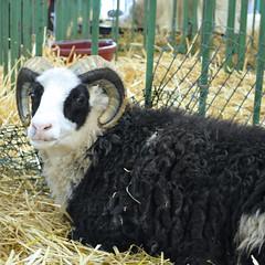 BSG - Sheep
