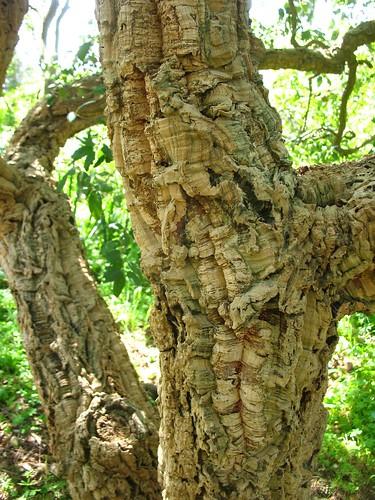 Quercus suber (Blake Garden)
