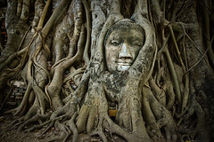 Buddha Head Inbedded in Roots at Wat Phra Mahathat, Ayuthaya, Thailand (Ren Ehrhardt) Tags: world park old city trip travel vacation holiday tree travelling heritage history tourism statue thailand army ancient ruins holidays asia southeastasia khmer place head eating buddha south famous urlaub sightseeing kingdom places landmark tourists unesco east thai historical southeast oriental orient root wat siam burmese far remains destroyed sights grown attraction attractions phra ayutthaya remaining mahathat 2star ramathibodi ayutthayaprovince damniwishidtakenthat
