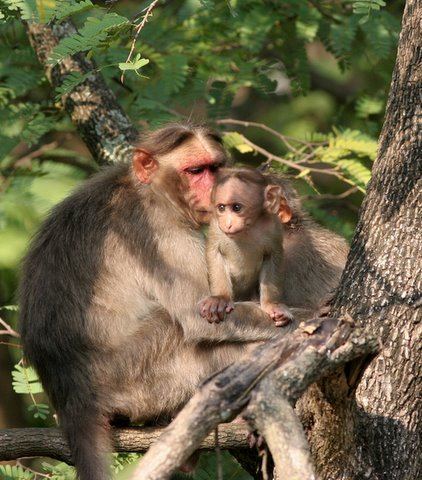 macaque mother and child d durga 050408