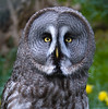 close encounters:  great grey owl (lesbru) Tags: face yellow circle eyes greatgreyowl round soe hedwig edinburghzoo piercinglook d40x