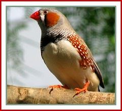 Zebra Finch (antonella.mannini&gianni.borghi) Tags: color macro nature birds natura uccelli picturesque animali bellezza zebrafinch smorgasbord emozioni naturesfinest flickrstar flickrelite colourartaward excapture flickrstas fdream