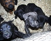 Jack (Blue Male) and Friends (muslovedogs) Tags: dogs puppy canecorso mastweiler zeusoffspring maggieoffspring rexoffspring myladyoffspring