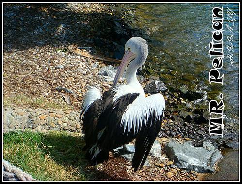 Seaworld: Mr. Pelican