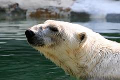 Polar Bear - Bronx Zoo (DP Photography) Tags: newyork fauna arctic polarbear bronxzoo antarctic mywinners debashispradhan dpphotography dp photography