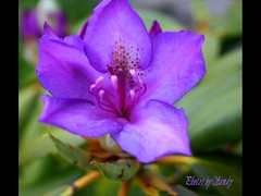 Rhododendron (augustbell) Tags: flower macro nature purple rhododendron breathtaking floraandfauna goldenflower magicial flowerotica fantasticflower golddragon mywinners anawesomeshot diamondclassphotographer flickrdiamond citrit empyreanflowers superpmasterpiece onlythebestare masterphoto photostosmileabout fotomania flickrsfantasticflowers macromarvels goldstaraward dragongold macroflowerlovers excellentsflowers wholelotofflowers 4mazingorgeoushotsofflowers flowersbudsandblossoms mimamorflowers envyandenvied setseeker flowerstoadmire amazingmacrosgroup floweroffoliage flickrflorescloseupmacros