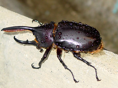 Rhino Beetle (++Aletha++) Tags: costa insects rica beetles naturesfinest excapturemacro photocontesttnc08