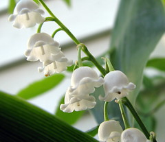 Lily of the valley and visitor